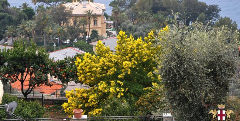 Pieve Ligure: La mimosa, protagonista dell'omonima sagra a febbraio