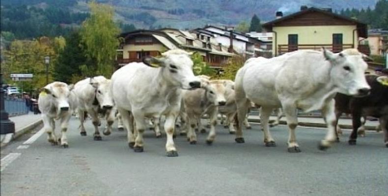 La transumanza dei bovini, dal cui latte si producono formaggi tipici,