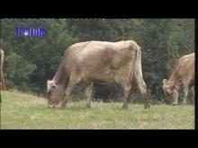 Allevatori di bovini in Valle Stura